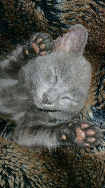 Pin by Strydom on Russian blue kitten Russian blue