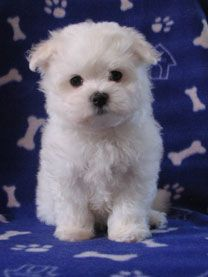 Nzkc Registered Purebred Maltese Puppies From Fanfare Maltese For