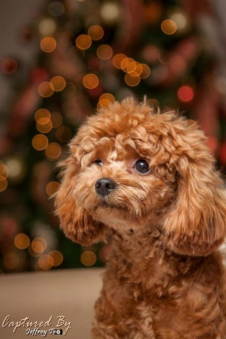 Toy Standard Poodle Merry Christmas Card Puppy Holiday Dogs Santa