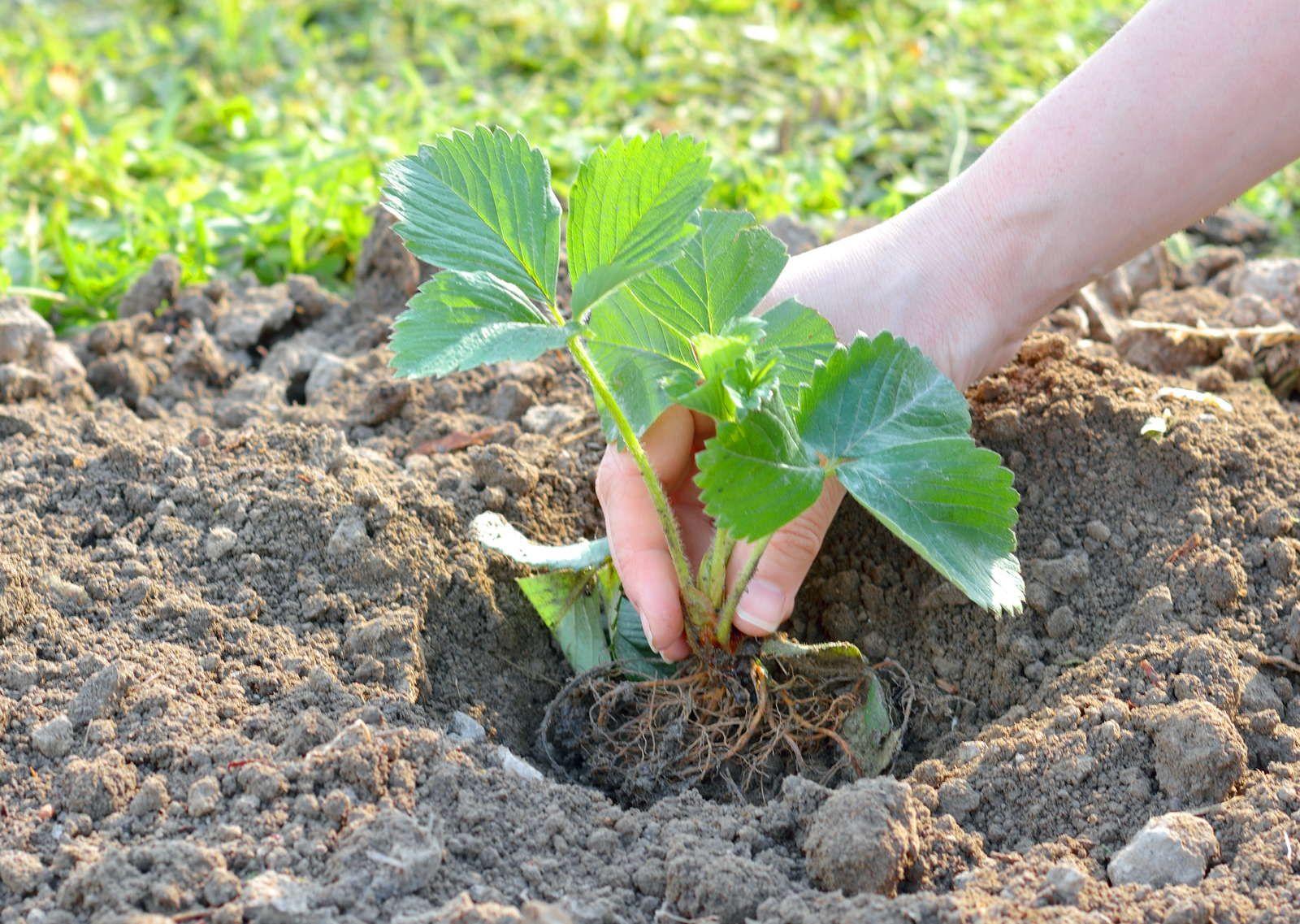 erdbeeren experten tipps vom pflanzen bis zum pfl cken pflanzen erdbeeren garten und