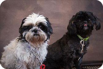 Duluth Mn Shih Tzu Mix Meet Bear A Dog For Adoption Kitten Adoption Pets Shih Tzu Mix