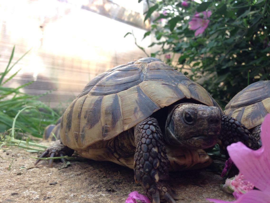 Mycha my hermans tortoise terrifying terrariums pinterest