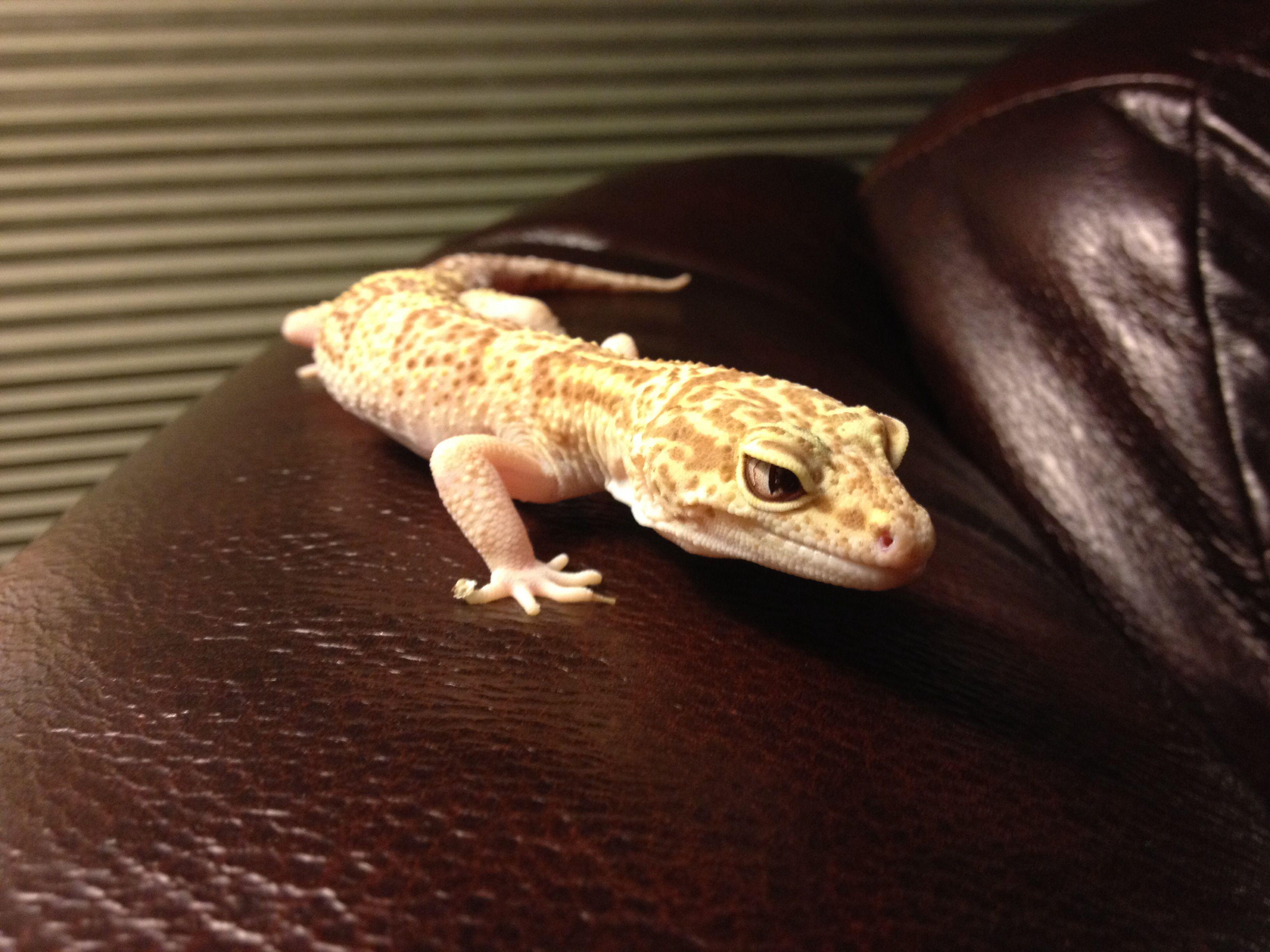 My yearold leopard gecko eli leopard geckos pinterest geckos
