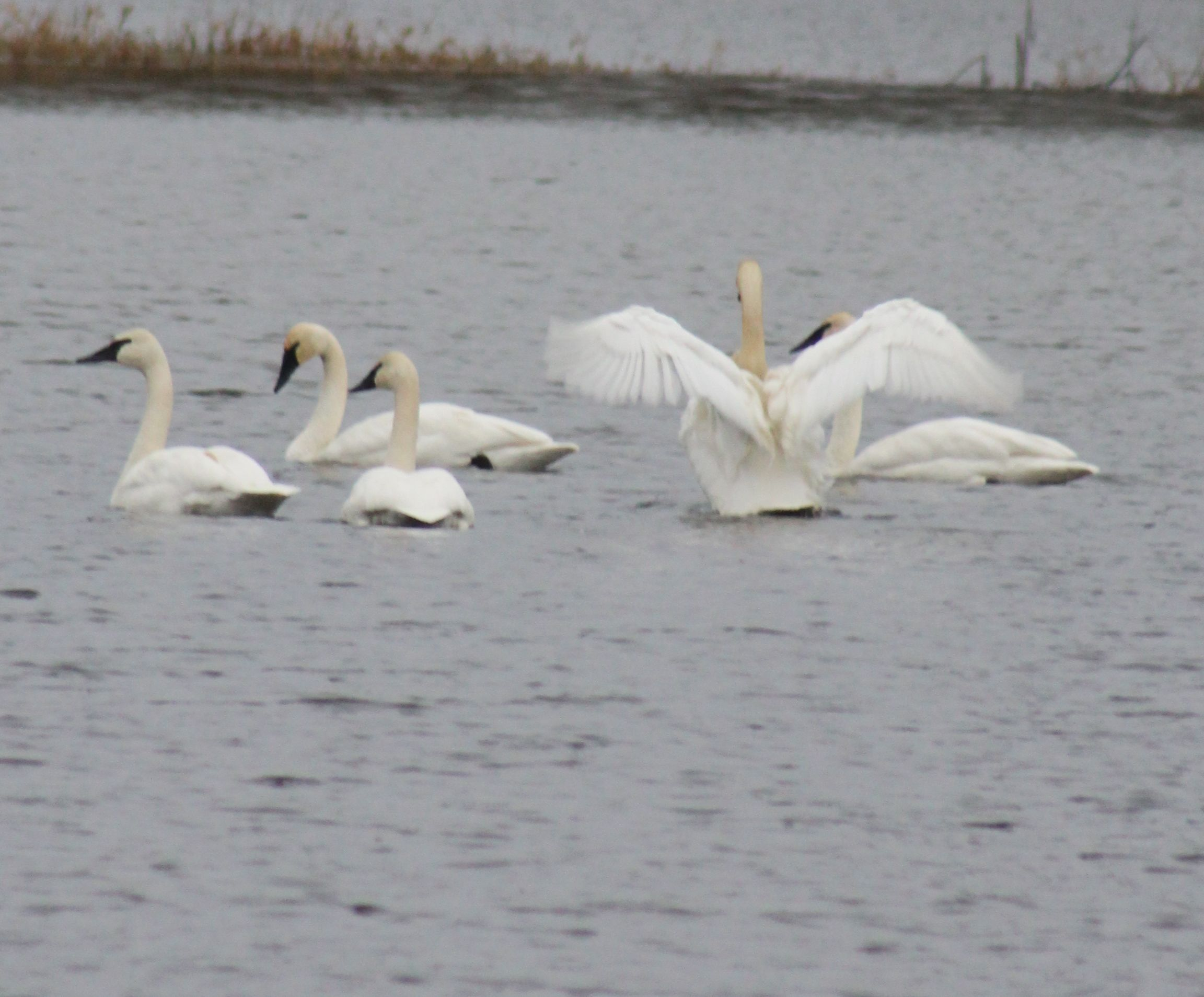 Trumpeter Swans, Malone, WA-photo by Esther Wenman