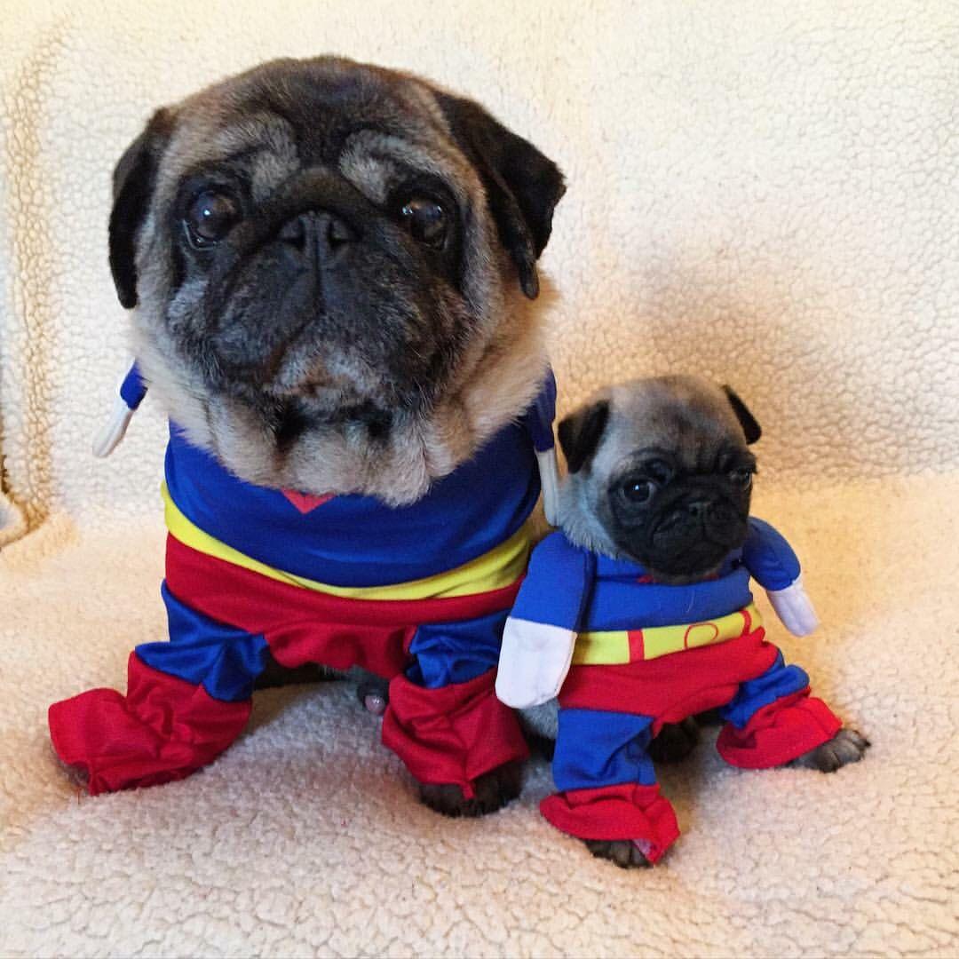 Super Pug And Junior Super Cute Pugs Baby Pugs Pugs Funny