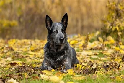 Pet Food Products Supplies At Low Prices Free Shipping Chewy Com Australian Cattle Dog Cattle Dog Dogs
