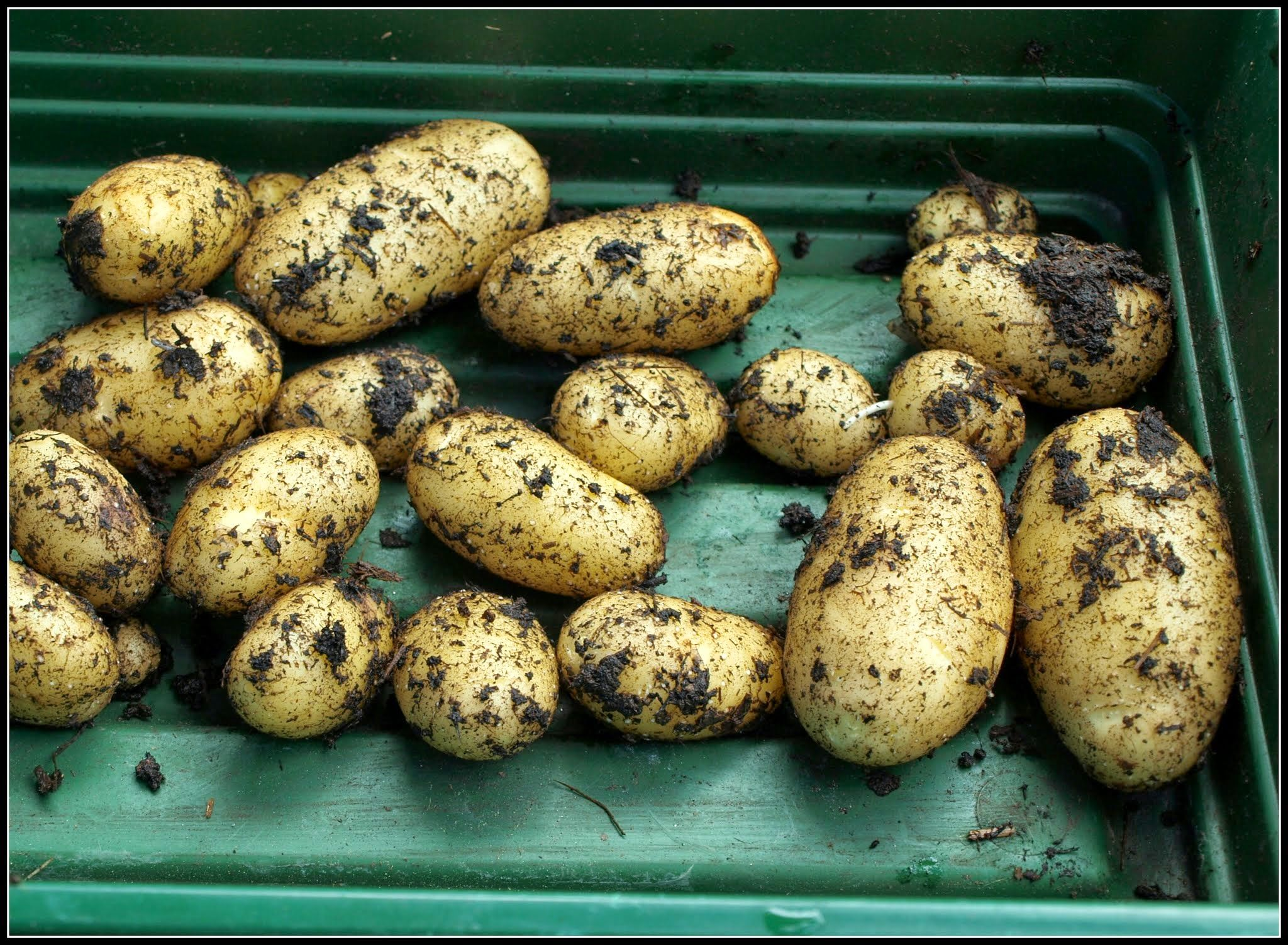 First early potato leontine potatoes vegetables