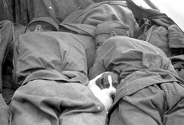 Pin On Dogs In World War Ii