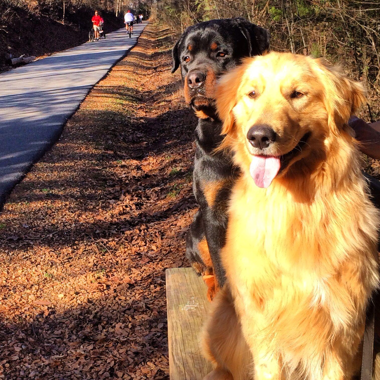 Golden Retriever And Rottweiler Golden Retriever Baby Dogs Rottweiler
