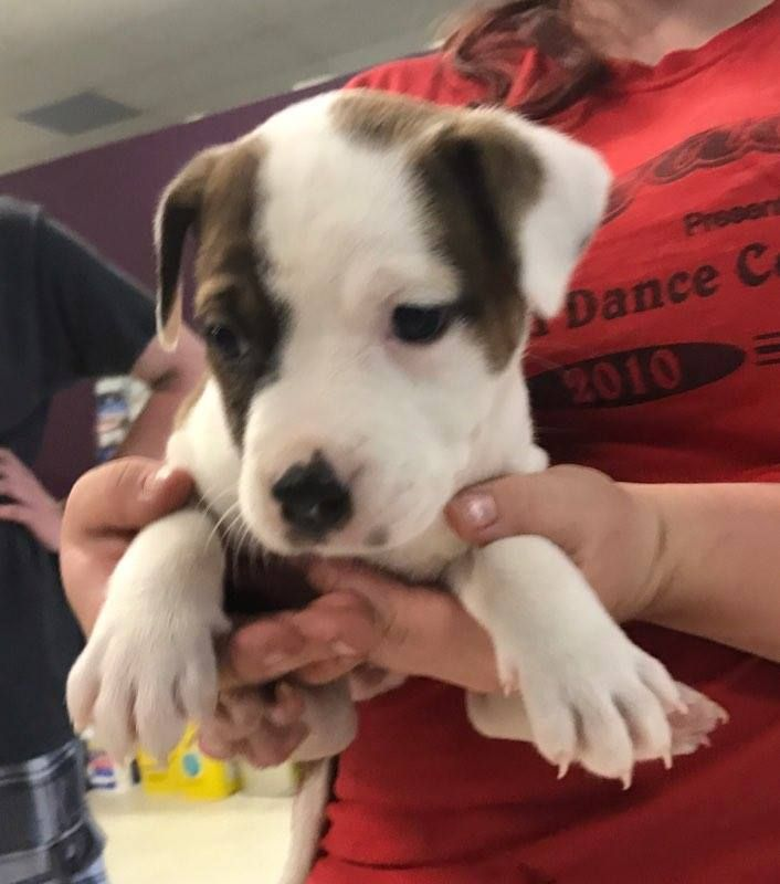 Labrottie Dog For Adoption In Maple Grove Mn Adn 550577 On