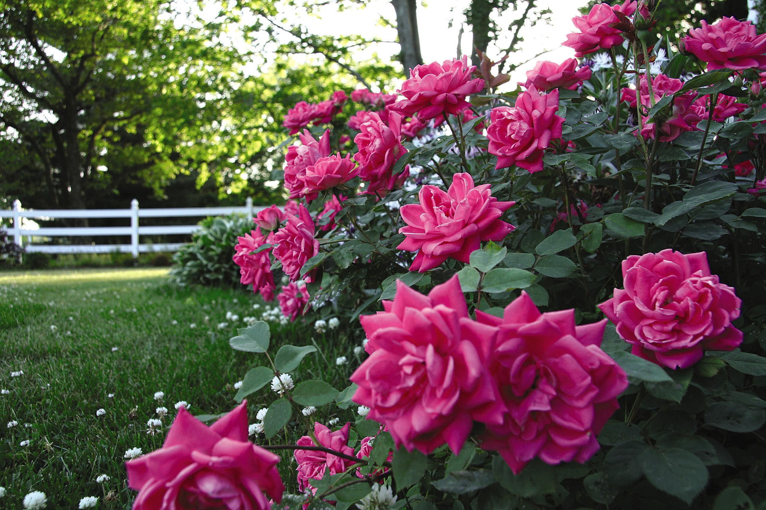 Pink Double Knock Out® Rose Shrub #knockoutrosen