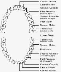 How Are Teeth Numbered In The Human Mouth Teeth Are My Life