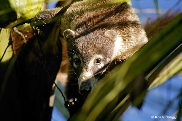Coati, member of the racoon family, Costa Rica