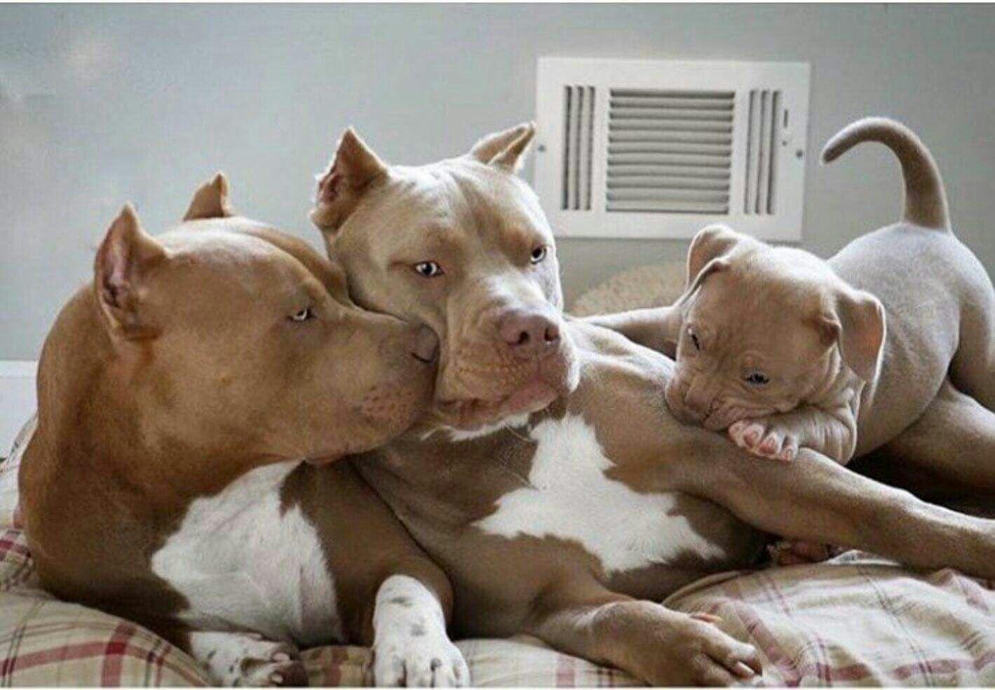 Доброе утро картинки собаки питбуль