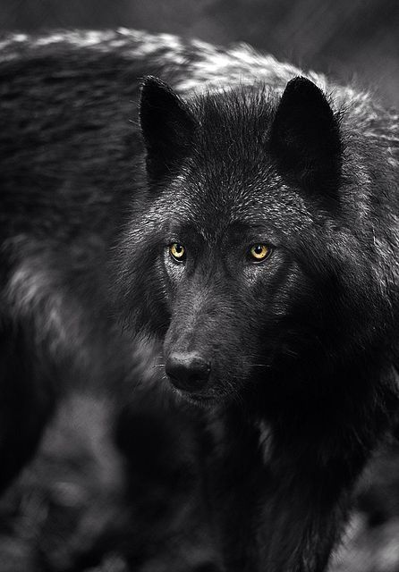 Black Wolf It Not Only Looks Cool But Sounds Cool Too Iphone