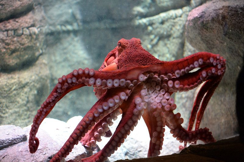 A Giant Pacific octopus checks out its new home in the octopus ...