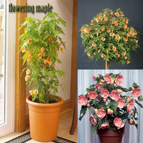 Flowering Maple Plants Abutilon Hybridum Train To Standard Or