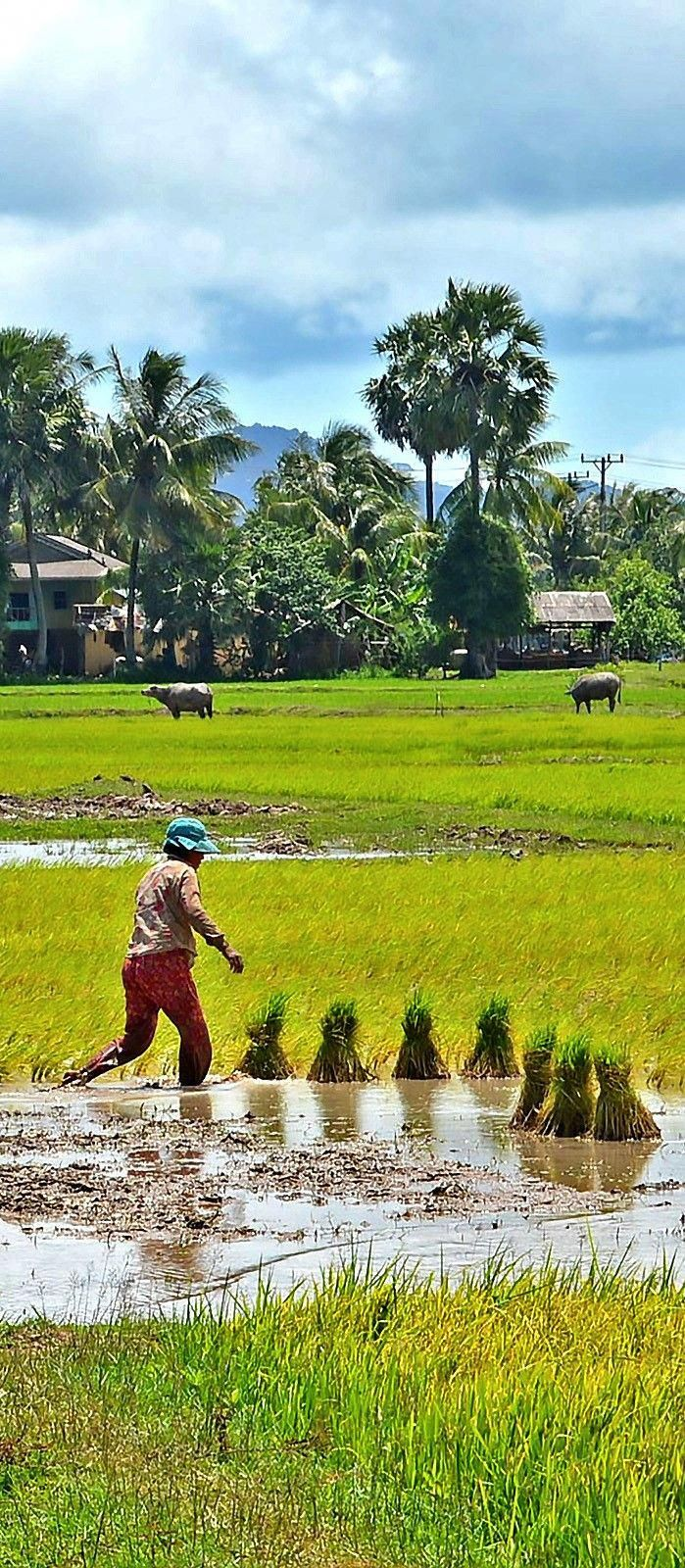 Kep farmer planting a new crop of rice as water buffalo