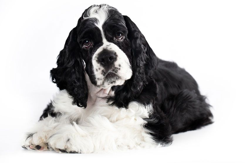 Pin On English Cocker Spaniels