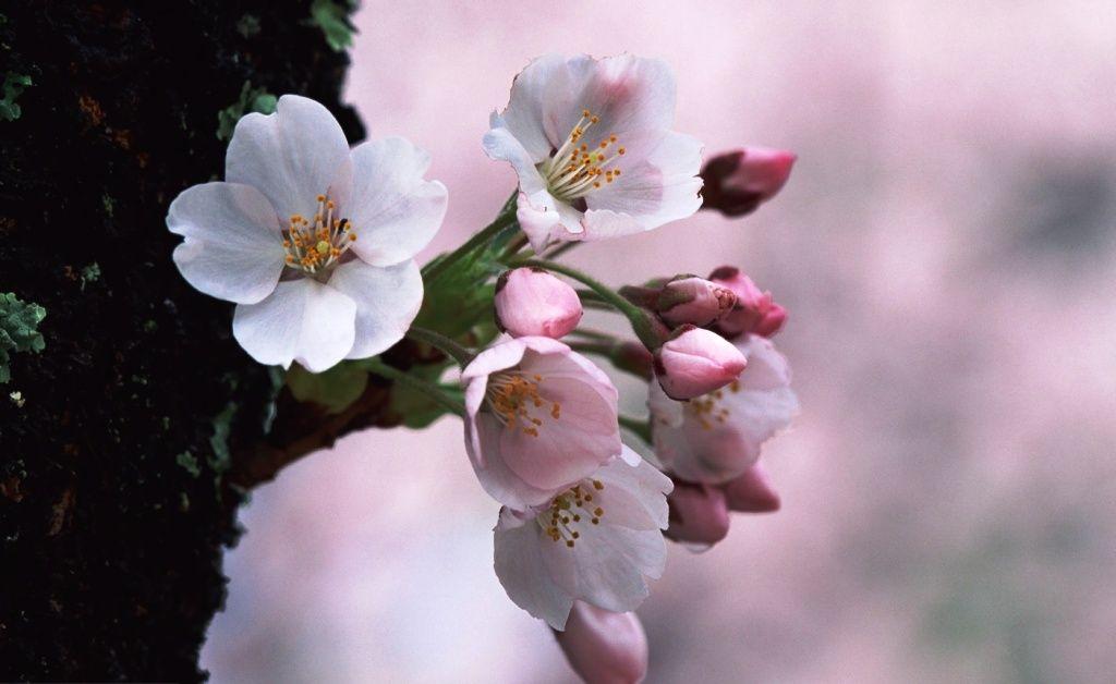 Pin Di Bunga Sakura Yang Cantik