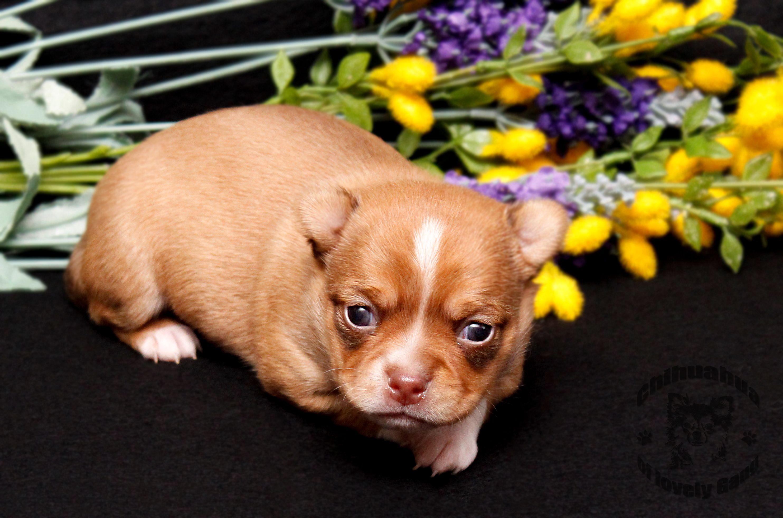 Chihuahua Hund Rassehund Zwinger Haustiere Chihuahua Welpen Haustiere