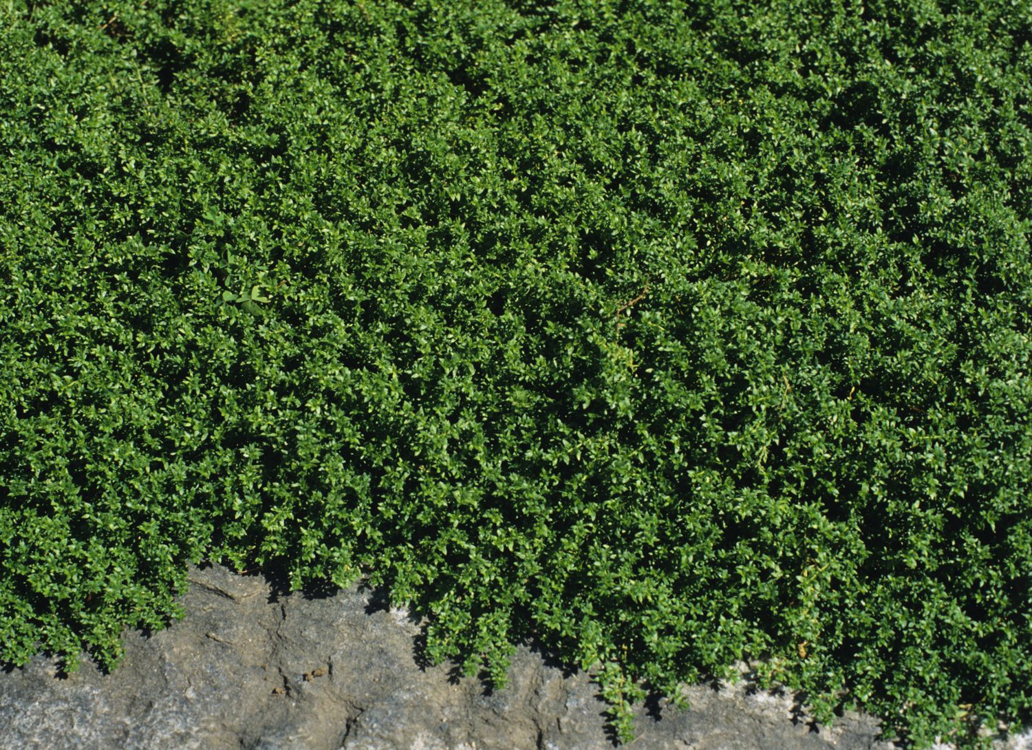Creeping Thyme Plant Mosquito Repelling Creeping Thyme Plant It Has Citronella Oil That Makes It Smell Lem With Images Ground Cover Plants Ground Cover Creeping Thyme