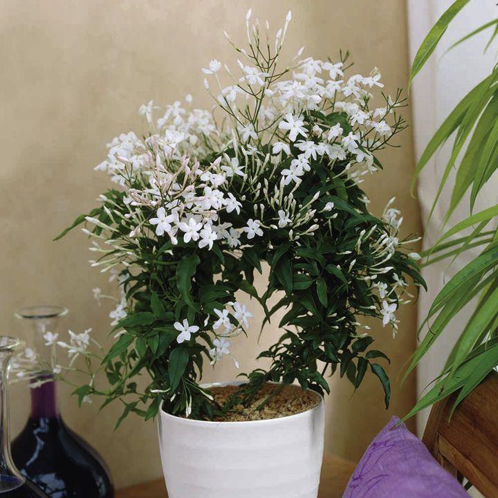 Indoor Plants For Positive Energy Indoor Flowering 400 x 300