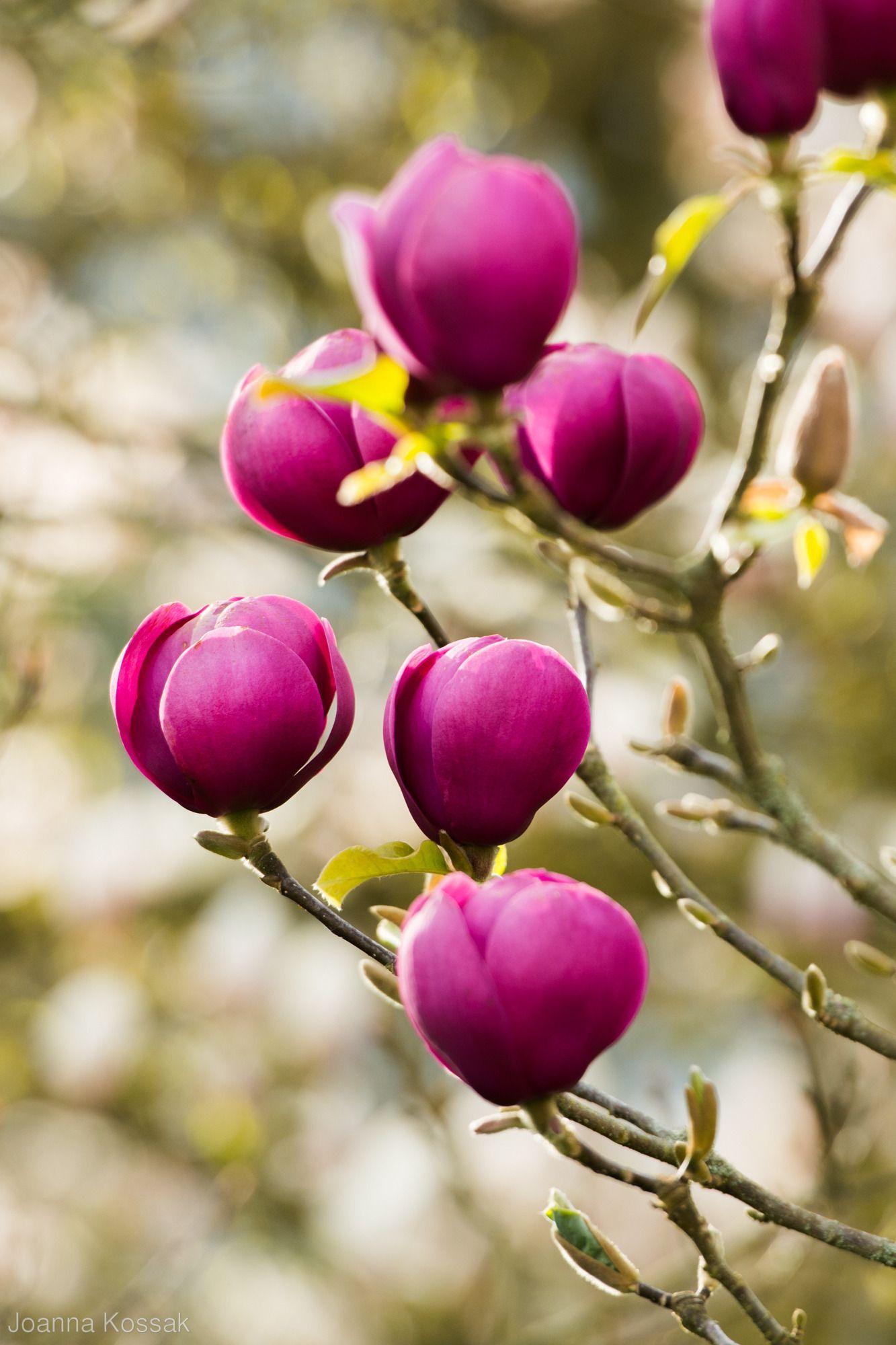 Magnolia Black Tulip Jurmag1 Joanna Kossak Magnolia