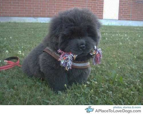 Chow Chow Puppy Super Cute Animals Cute Animals Dogs