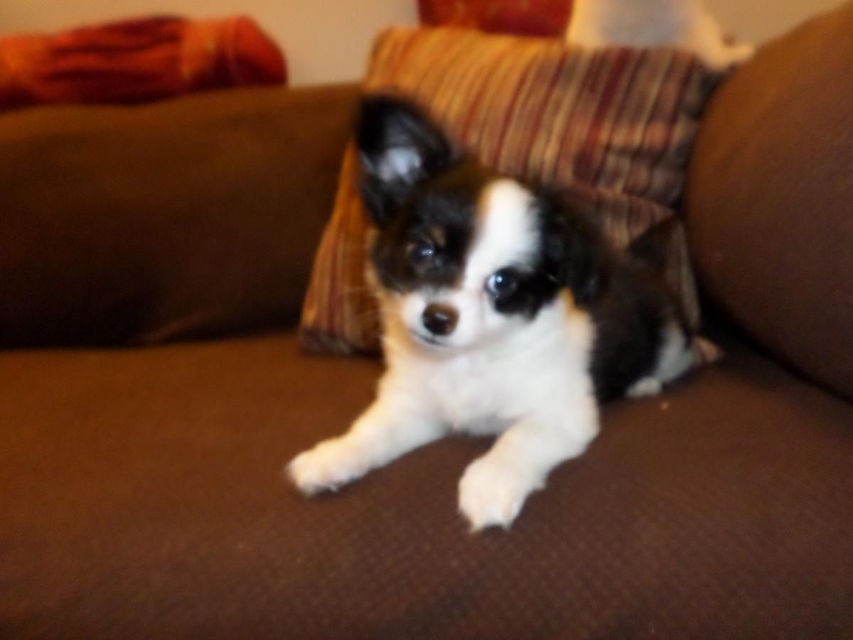 Chihuahua Mix Longhair Pups New Pics Ears Starting To Stand Reduced Price In Quaker City Ohio Hoobly Classi Chihuahua Puppies Chihuahua Toy Fox Terriers