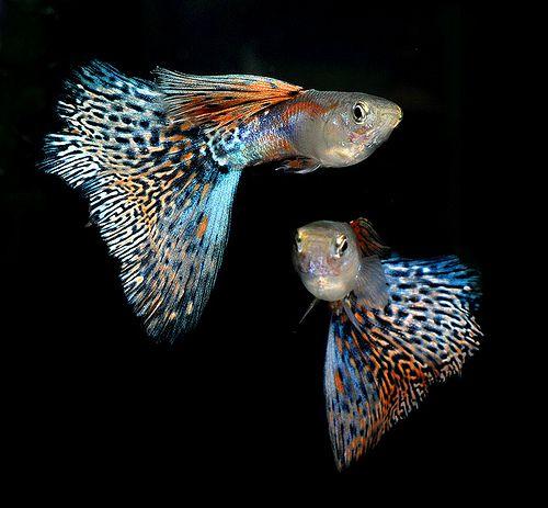 Guppy Guppy Fish Aquarium Fish Cool Fish