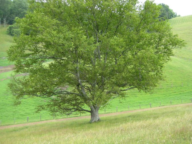 About Tree Virginia Highland
