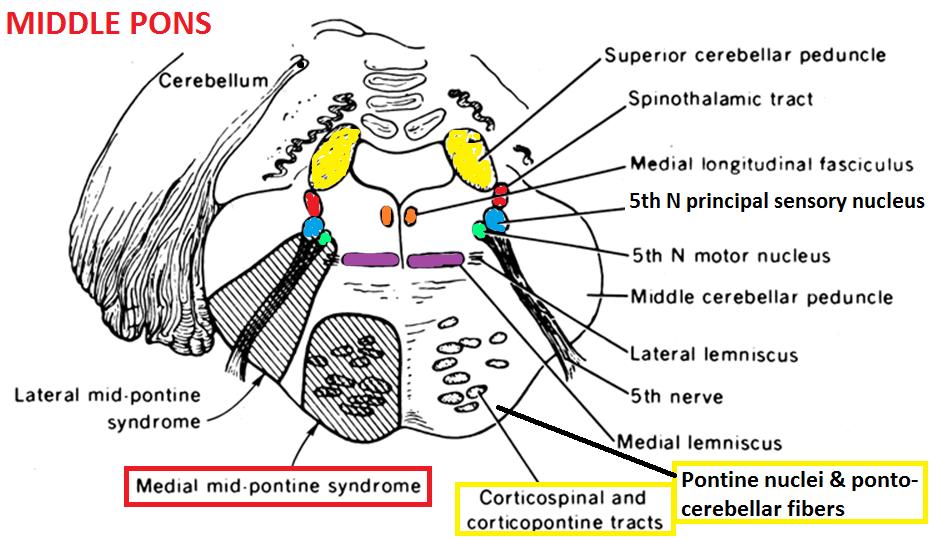 pontine tract - Pesquisa Google | Neuro anatomy | Pinterest