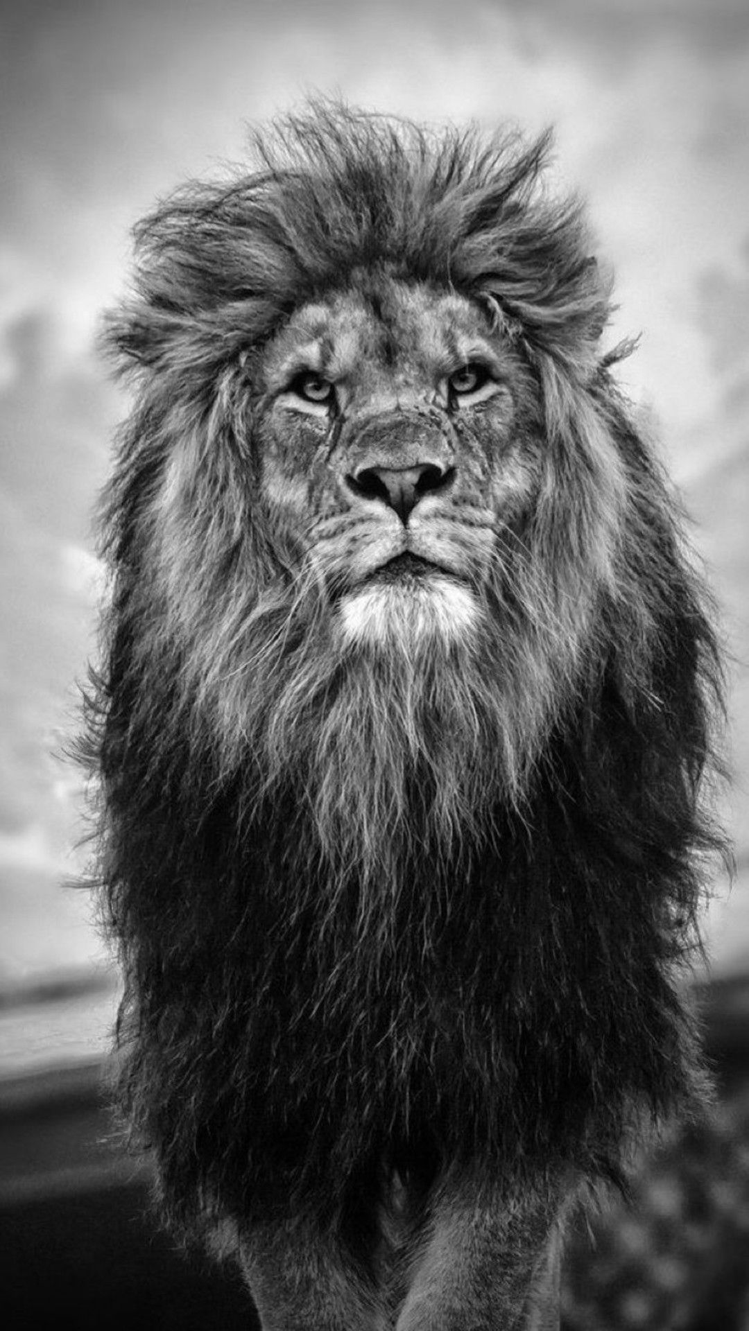 Majestic Beauty Marvelous Wildlife Animals Lion Lion