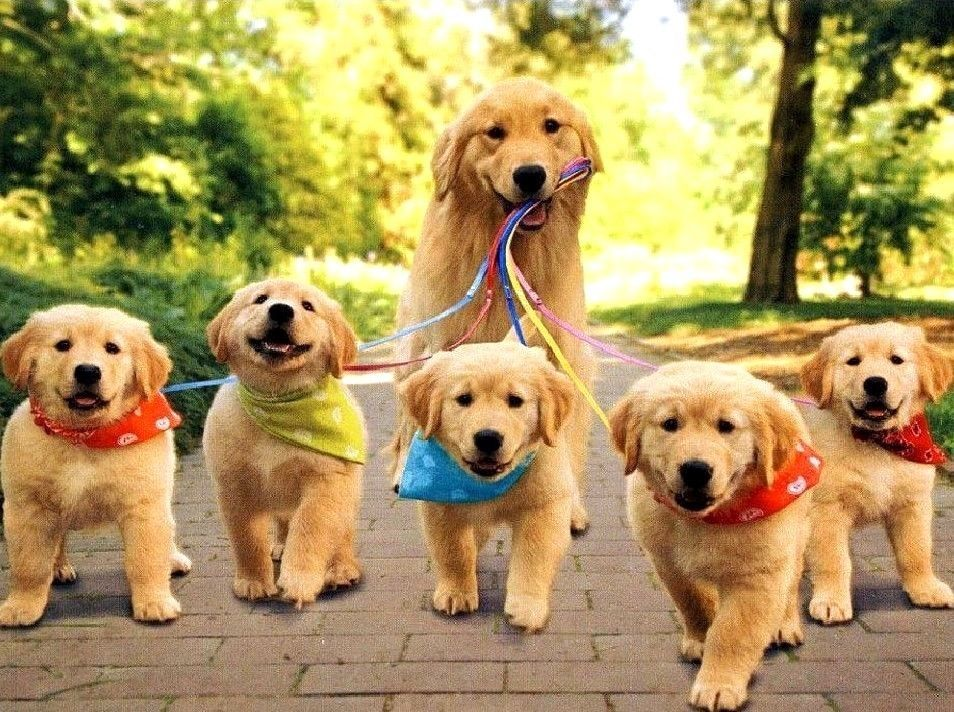Title Golden Retriever Puppies Jogging Mom Limited Edition Aceo Art Print Aceo Is An Acronym That Stands For Art Cards Editions And Or Pets Animals Puppies