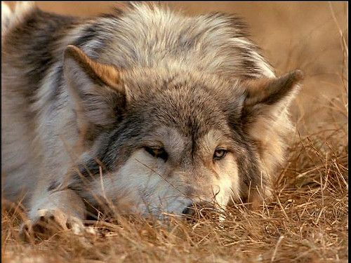 Pin by Bryam Esquen on Cute animals | Cute animals, Animals, Wolf