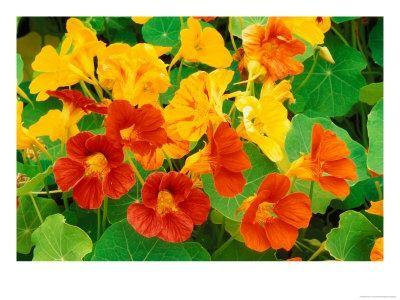 Nasturtium Dog Safe Zones 3 10 Annual Flower All Summer