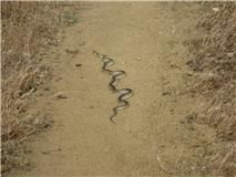 PCT Hikers Face Rattlesnakes in the Desert, exactly where a PCT hiker is the first 703 miles.  #snakes #PCT #skywalker    http://skywalker-pct.com
