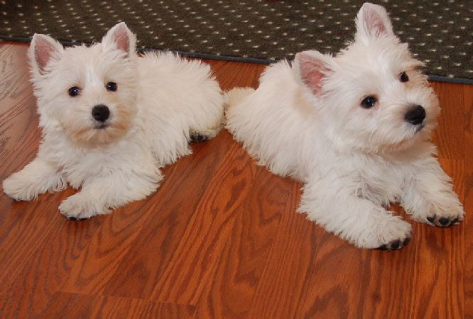 Twins Foxcreek Kennel Westie Puppies Cute Animals Cute Dogs