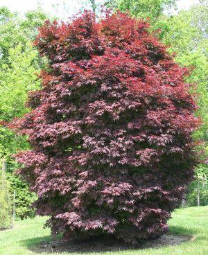 Acer Palmatum Pixie Dense Vase Like Growth Habit Spring Colors