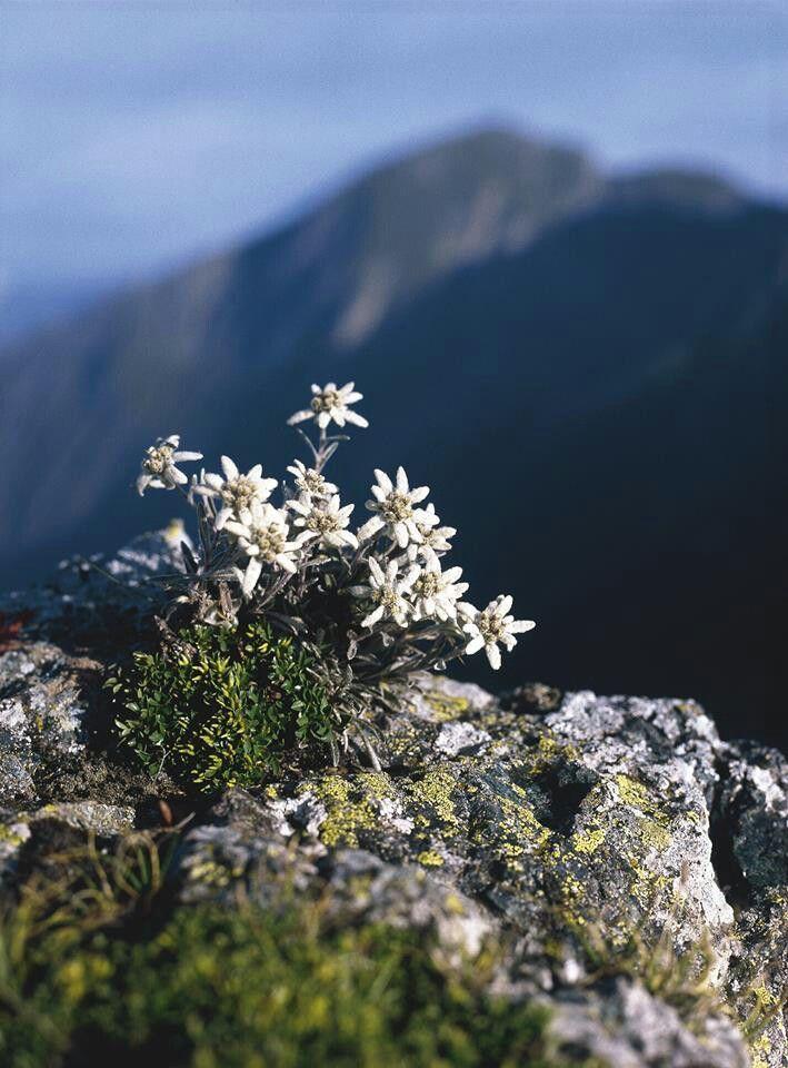 Alpenstrasse Edelweiss Flower Alpine Flowers Landscape