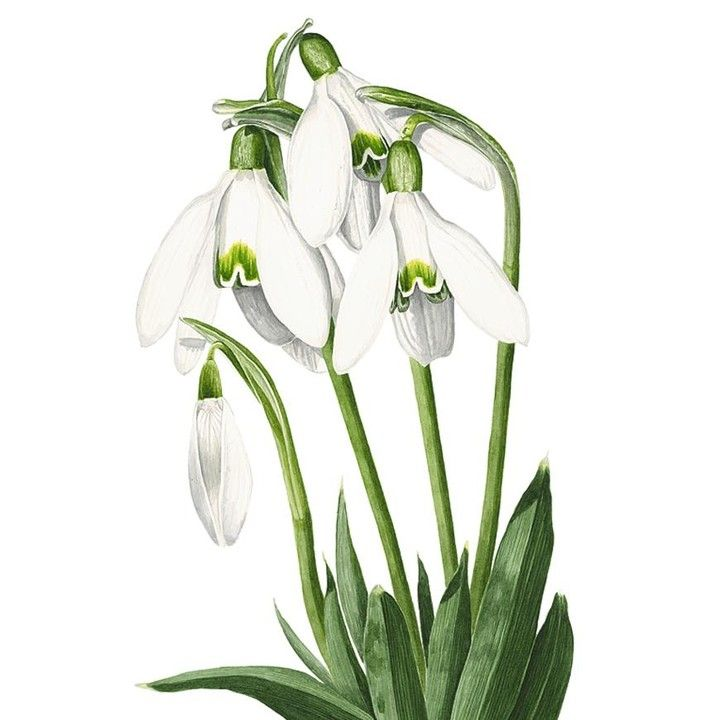 Sweet Snowdrops Are One Of January S Birth Flowers Factfriday Flowerpainting Watercolour Watercol Flower Drawing Botanical Drawings Botanical Art