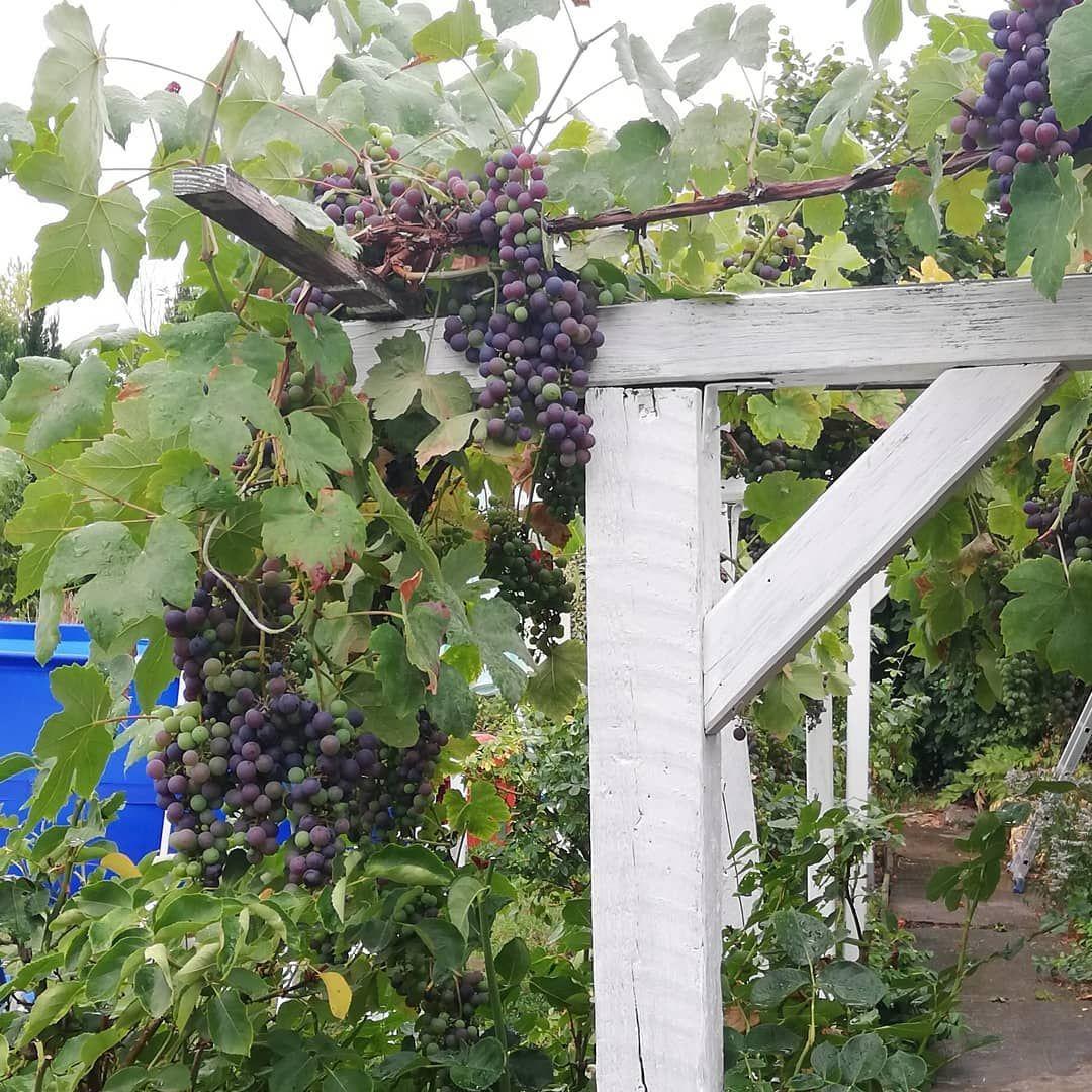 Suesse Trauben #garten #wein  Garten, Trauben, Wein Tür