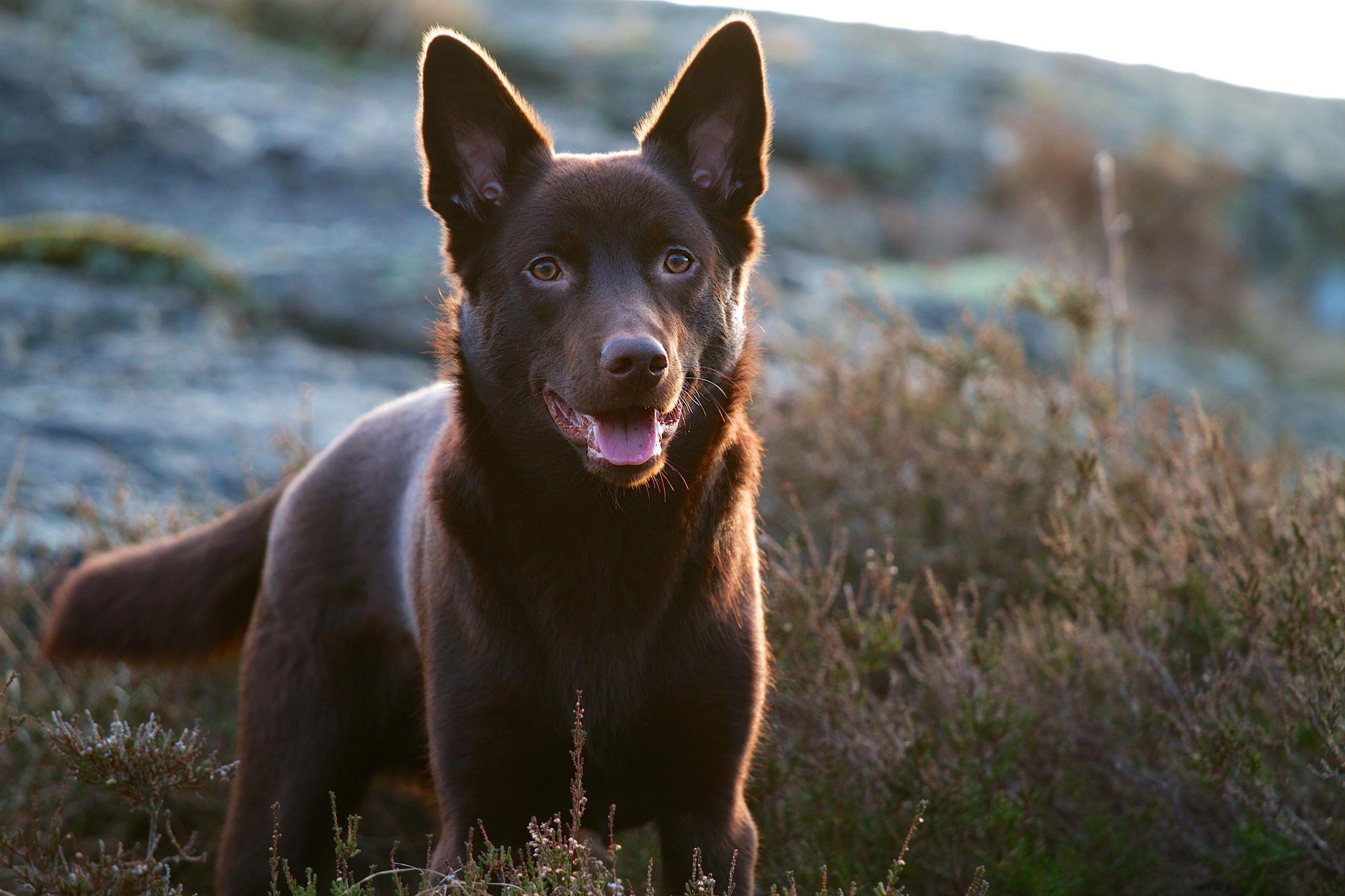 Australian Kelpie Black Australian Dog Breeds Dog Breeds Aussie Dogs