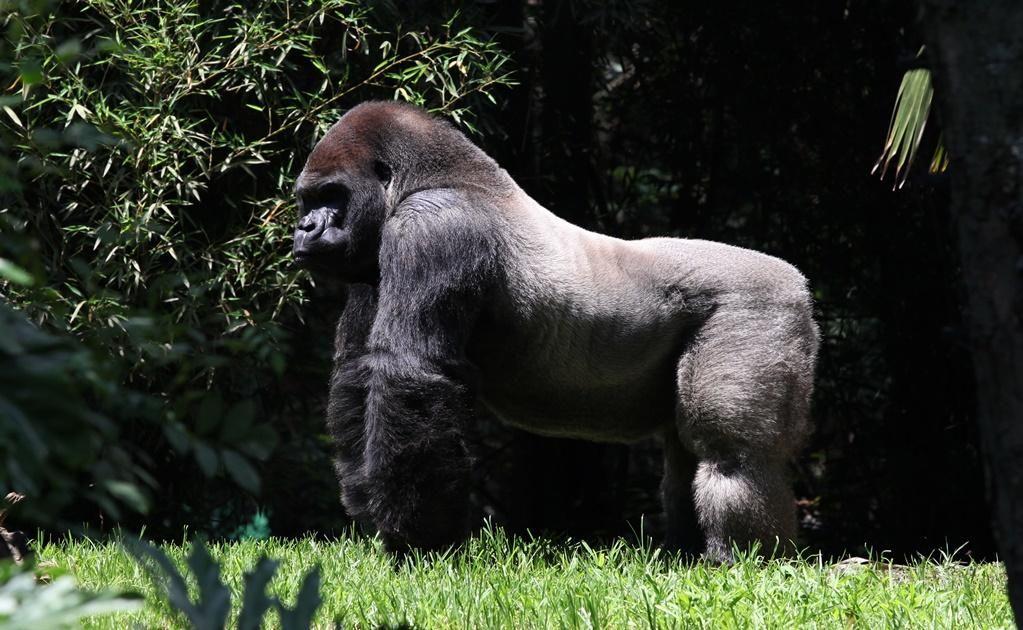 beloved gorilla dies after