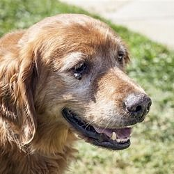 Pictures Of Fred Id 23852 A Senior Male Golden Retriever For