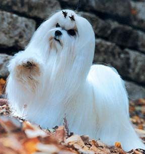 My Humans Love Me So Much But They Are Constantly Bushing Me Oh Well Anything To Keep Them Happy Maltese Dogs Dog Images Puppies