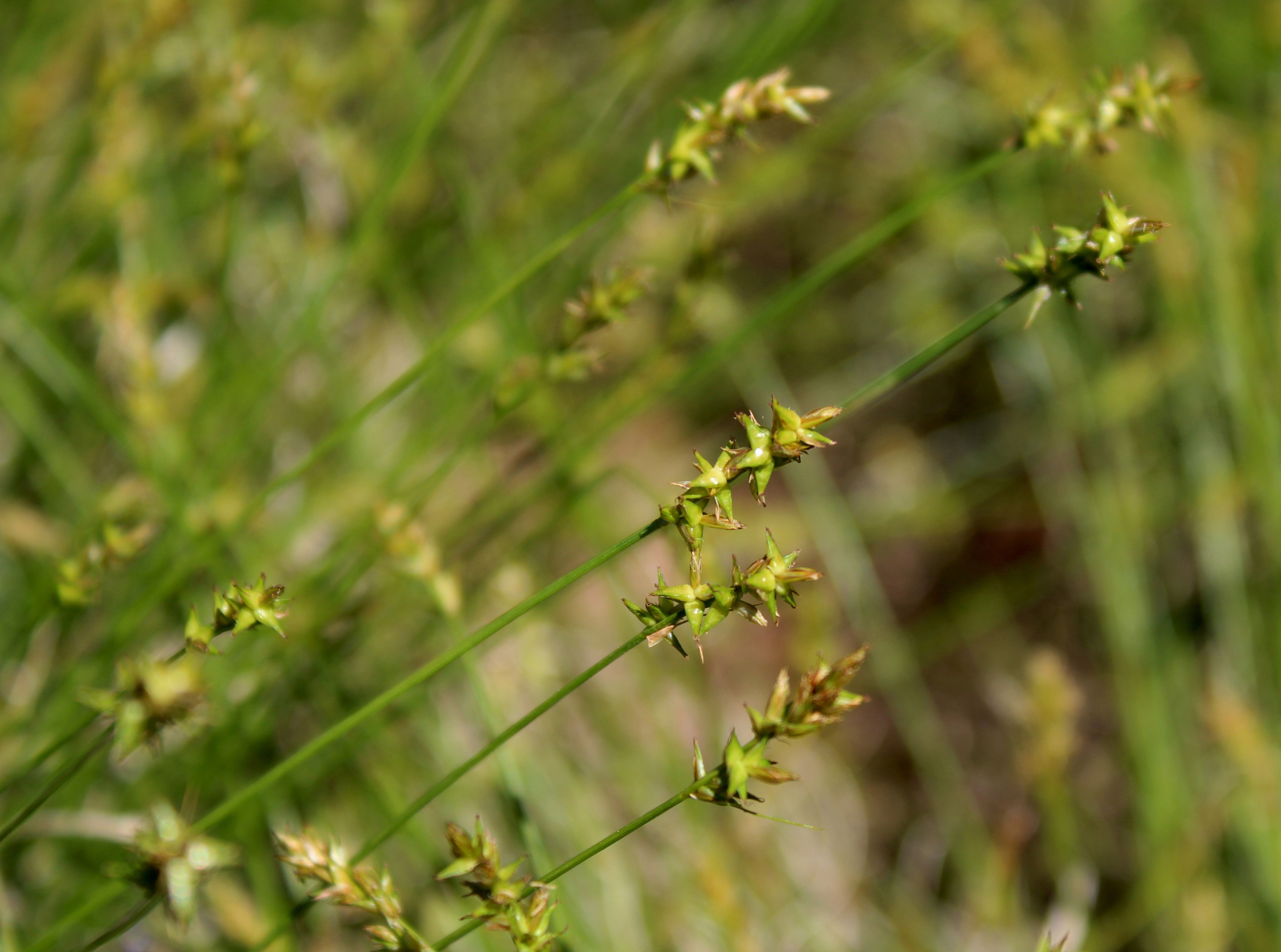 Carex Texensis Texas Sedge With Images Lawn Alternatives