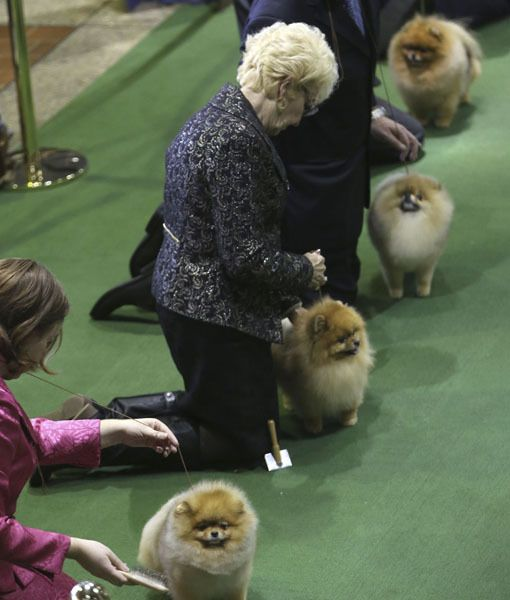 Pomeranians Line Up As They Are Shown In The Ring During The 137th