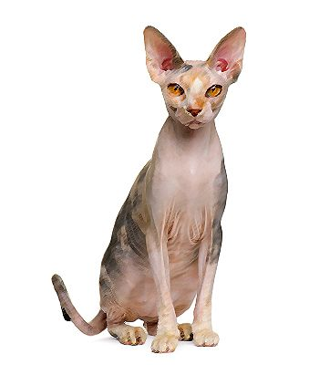 Got a Spynx? Read here everything about this #cat breed!